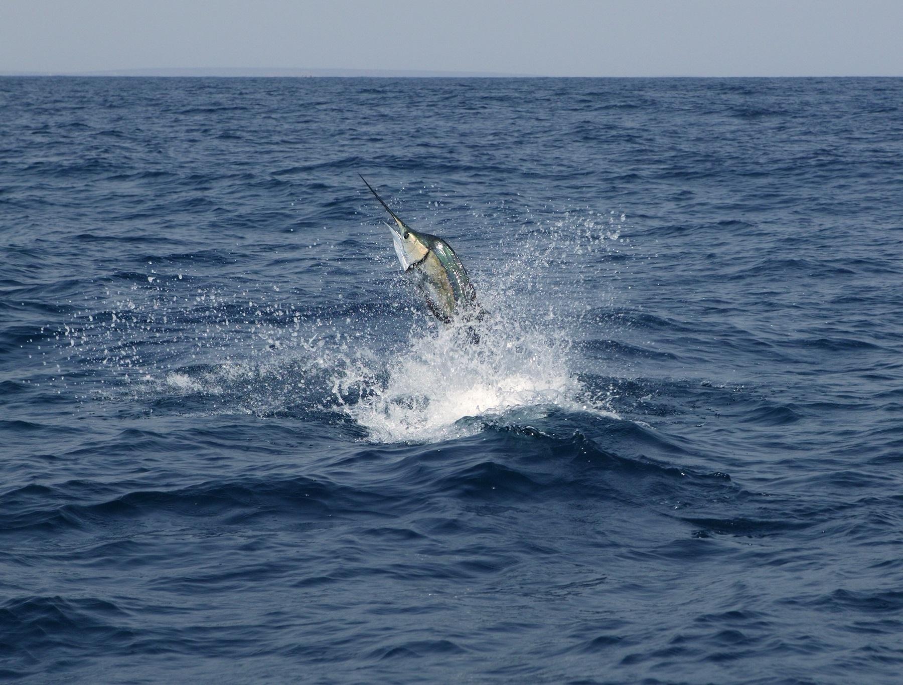 sail fish jump