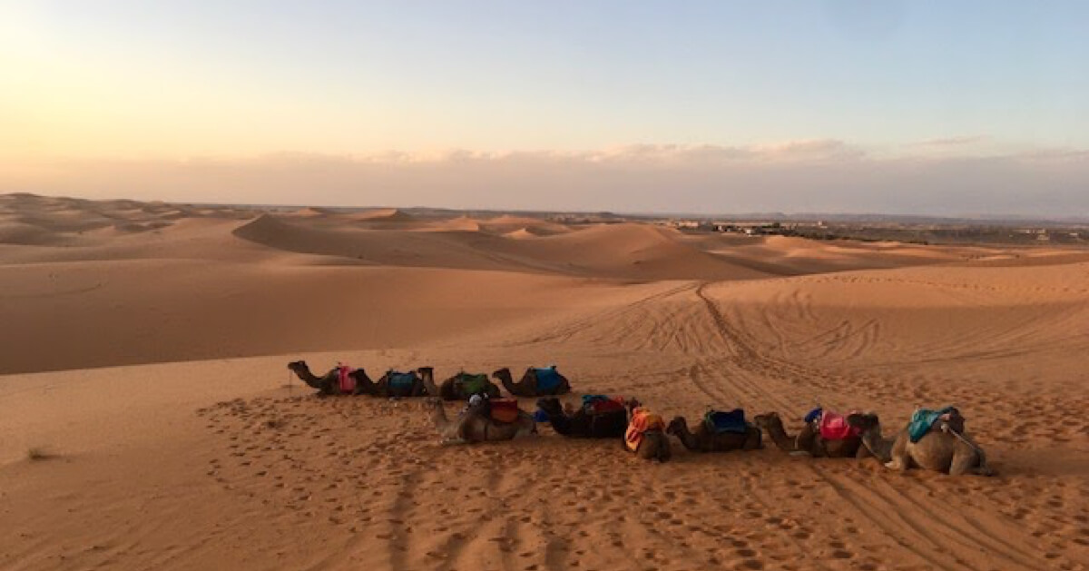 Camels lie down in the Sahara desert
